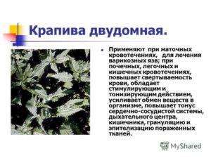 Крапива разжижает или сгущает кровь: 5 лечебных свойств и рецепты отваров и чаев на основе растения