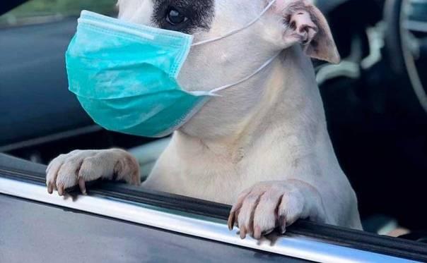Коронавирус у собак - передается ли человеку: можно ли заразиться covid-19 от собаки, симптомы и как лечат