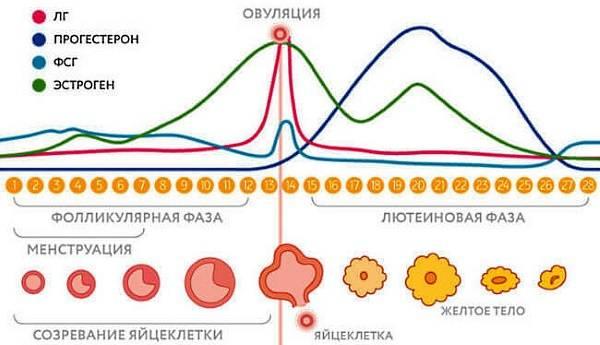 На какой день цикла сдавать кровь на прогестерон