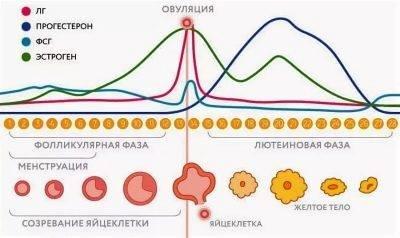 Эстрадиол и прогестерон