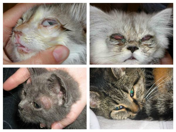 Коронавирус у кошек - опасны ли животные для человека