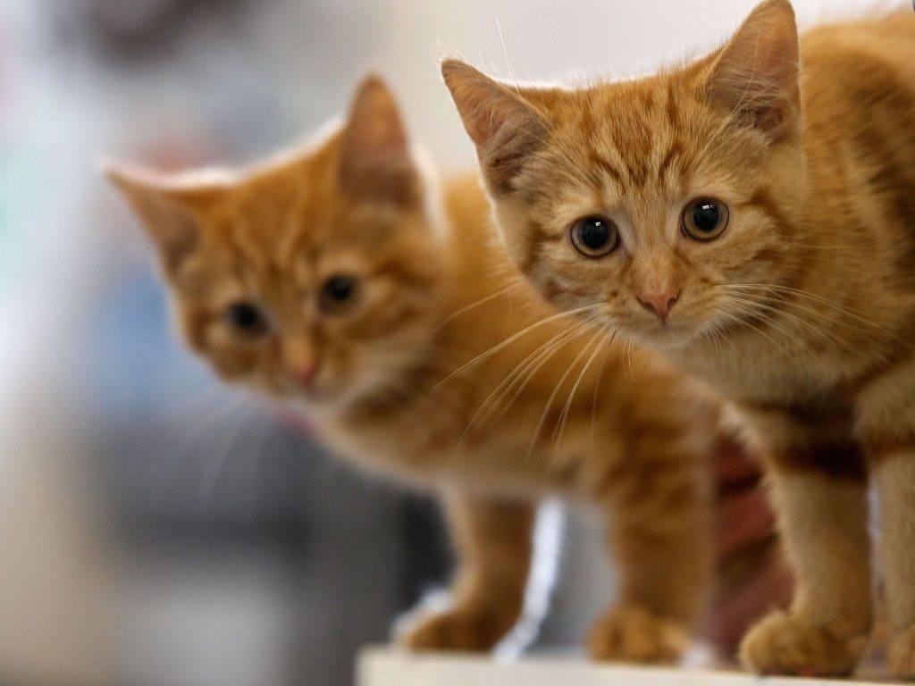 Аскариды кошек передаются ли человеку