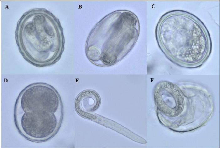 Аскарида человеческая личинка