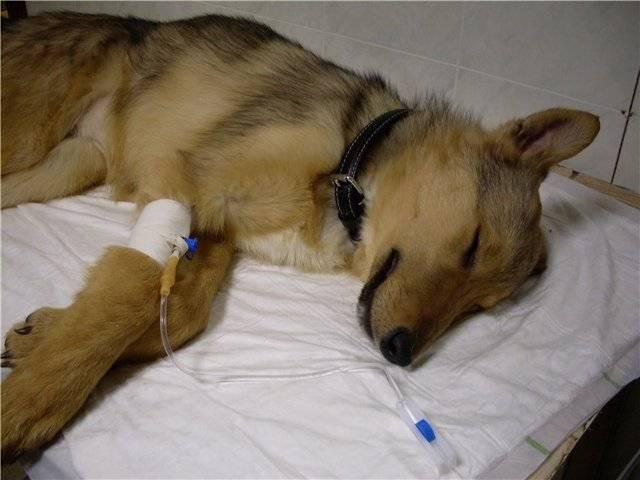 Как болеют животные коронавирусом