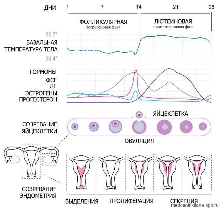 Норма прогестерона в лютеиновой фазе: что это такое у женщин и как рассчитать?