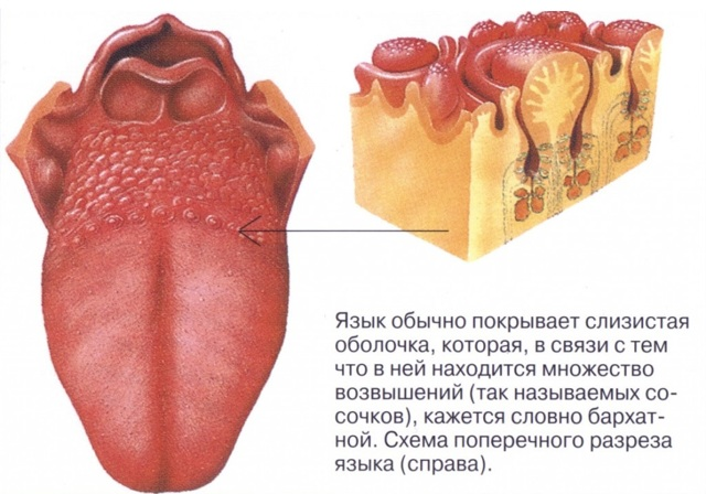 Болит язык: сбоку, у основания - причины, чем лечить воспаление