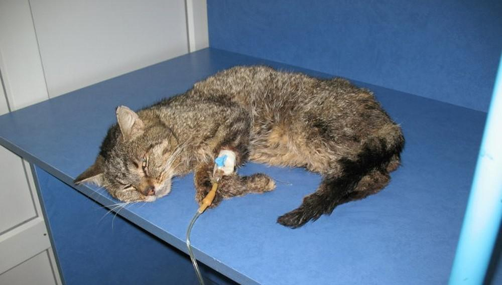 Коронавирус у кошки: симптомы, как лечить, передается ли человеку, профилактика