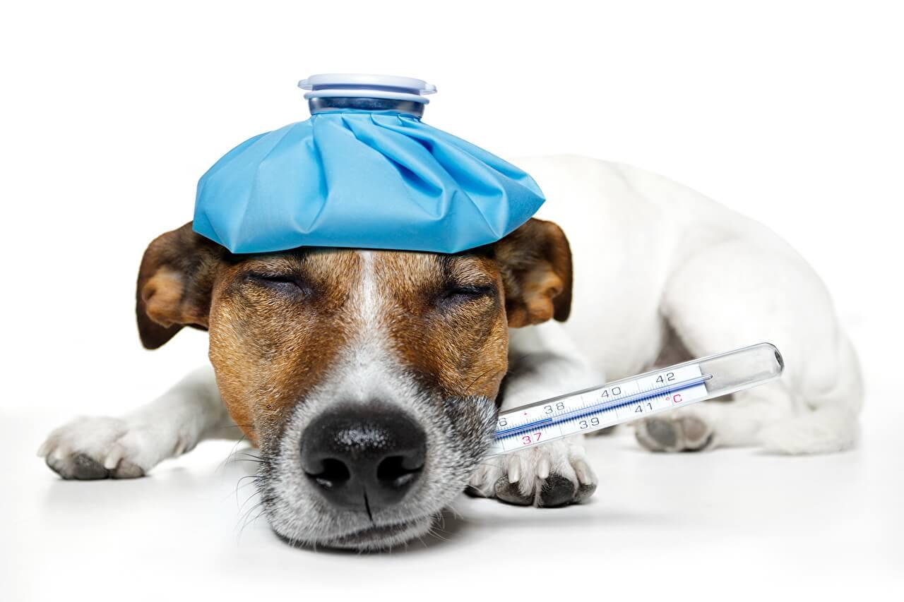 Коронавирус у кошек - передается ли человеку: можно ли заразиться covid-19 от кошки, симптомы и как лечат