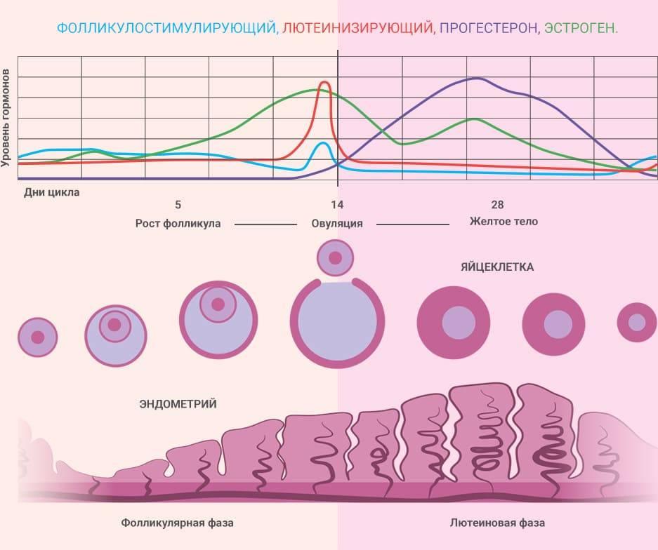 Лютеиновая фаза менструального цикла у женщин