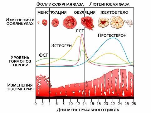 Лютеиновая фаза: что это такое у женщин, как ее рассчитать, какова норма прогестерона в этот период?