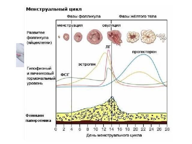 22 день цикла: какая фаза, норма прогестерона, описание по дням и отзывы врачей : labuda.blog
