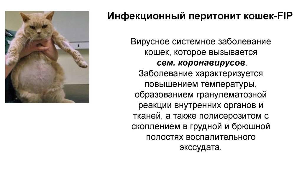 Передается ли коронавирус кошкам?