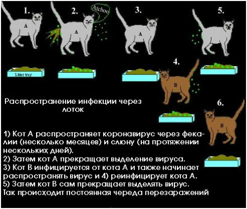 Могут ли кошки быть переносчиками коронавируса?