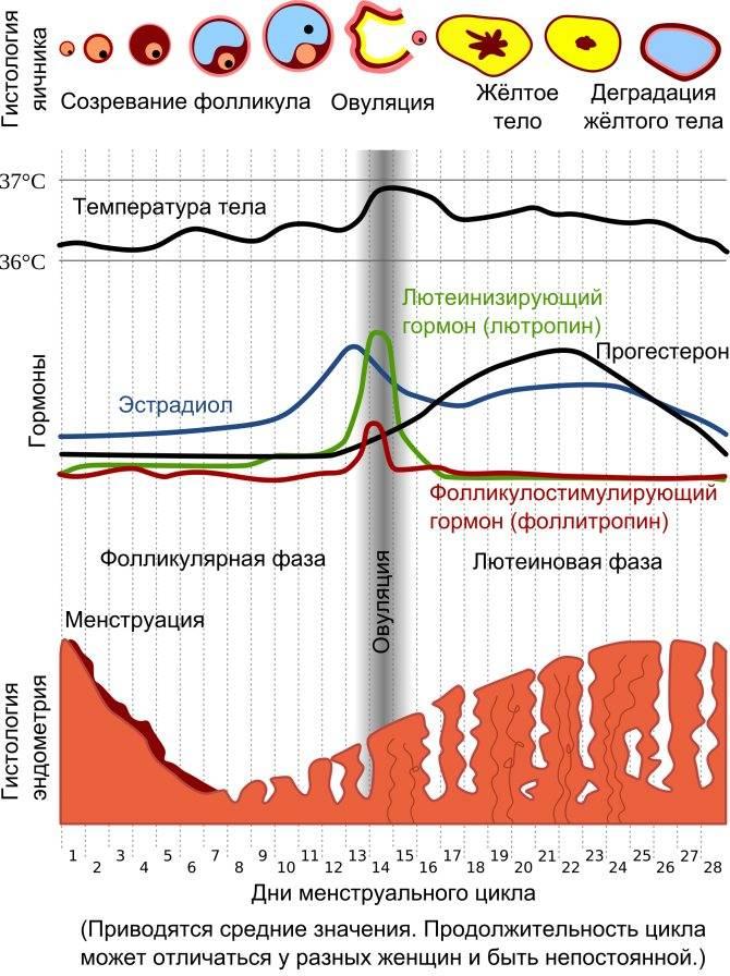 Норма прогестерона у женщин (35 фото): на 21 и 22 день цикла, в лютеиновой фазе, по возрасту в таблице, каким должен быть уровень гормона в крови