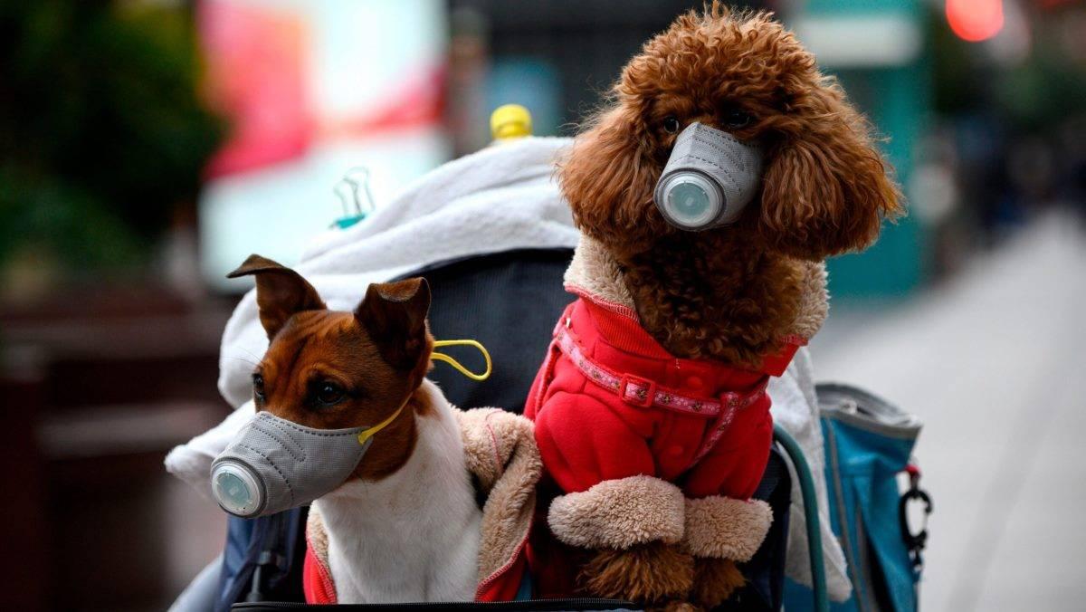 Болеют ли кошки и собаки коронавирусом?