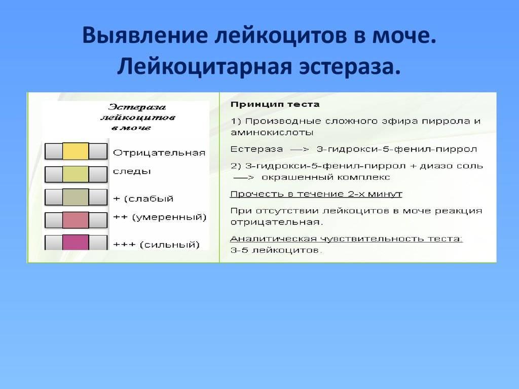 Причины повышенных лейкоцитов в моче у женщин и у мужчин, таблица норм, профилактика